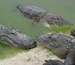 gators4